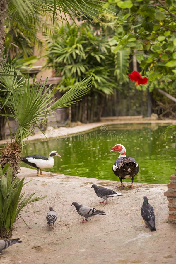 Pigeons and ducks by the lagoon. Duck is the common name for certain birds of the Anatidae family, mainly of the Anatinae subfamily and within it of the genus royalty free stock image