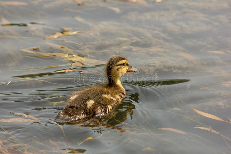Duck is the common name of an important number of anseriform birds, generally migratory, belonging to the Anatidae family. It is a definition devoid of royalty free stock images