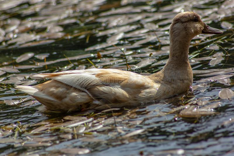 Duck is the common name of an important number of anseriform birds, generally migratory, belonging to the Anatidae family. It is a definition devoid of royalty free stock photography
