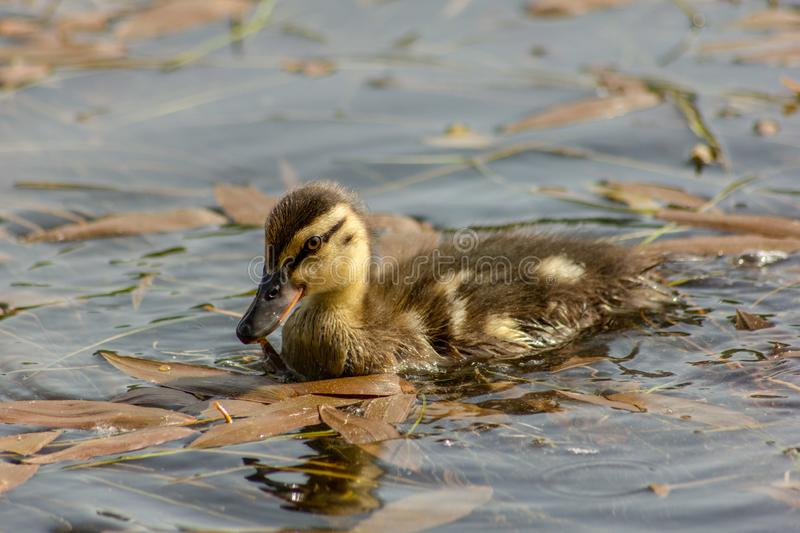 Duck is the common name of an important number of anseriform birds, generally migratory, belonging to the Anatidae family. It is a definition devoid of royalty free stock image