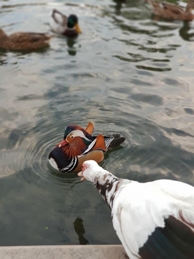 Duck& x27; contos de s imagens de stock royalty free