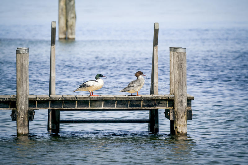 Duck couple. A beautiful duck couple on a wooden jetty stock photography