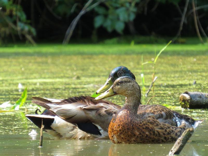 Duck Couple. A cute duck couple that have been married for 15 years now. They like movies, and flying south for the winter royalty free stock photos