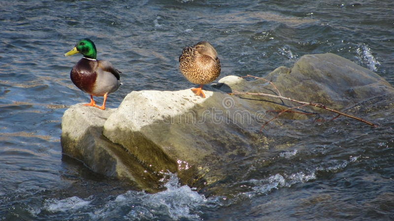 Duck couple on the stone. Duck couple standing on the stone in the water stock image
