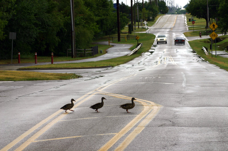 Duck Crossing stock images