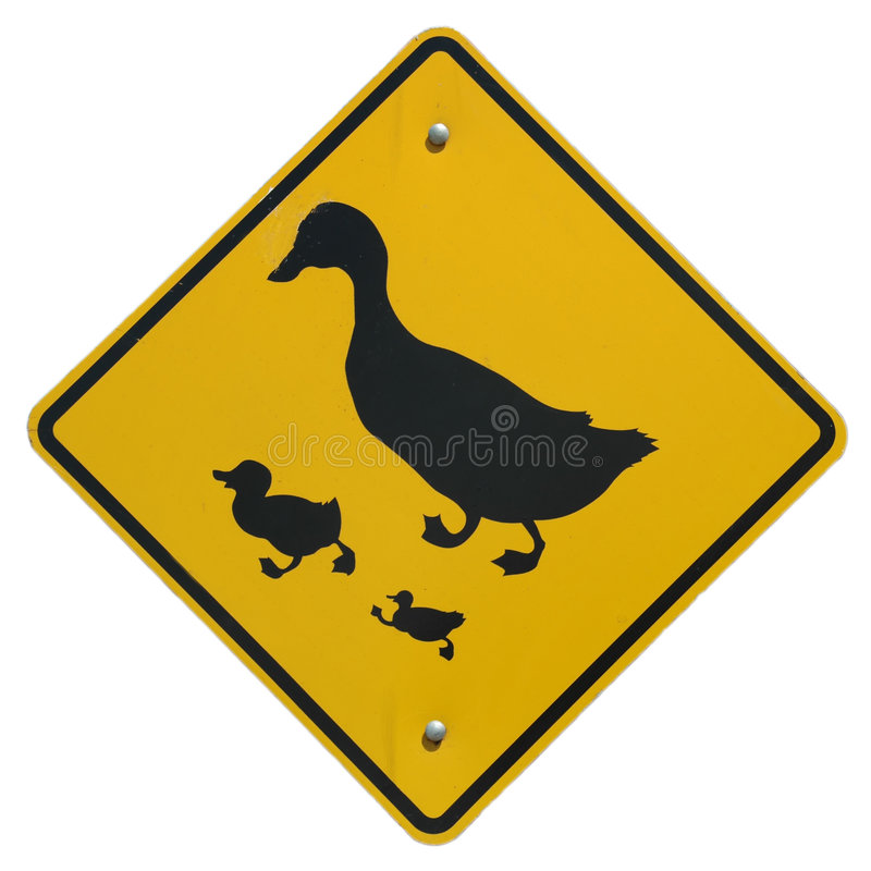 Duck Crossing stock photography