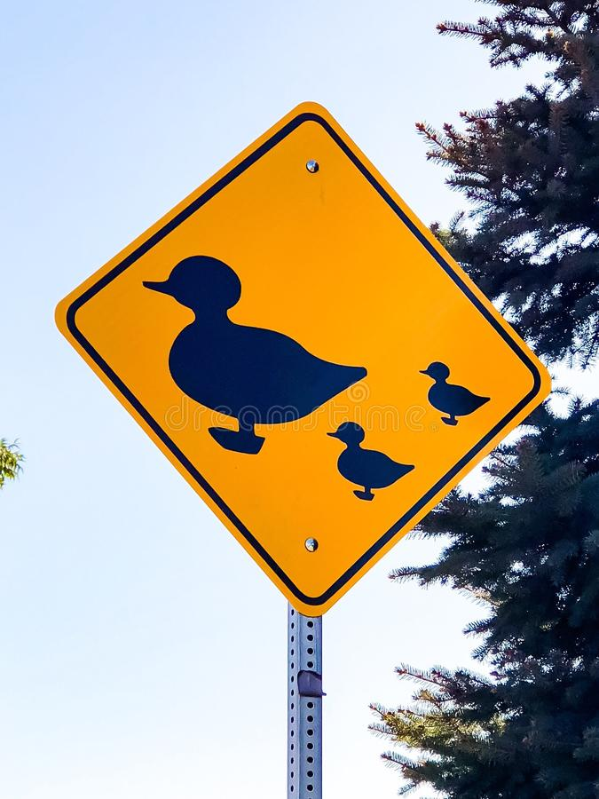 Cute Duck Crossing In Modesto royalty free stock image