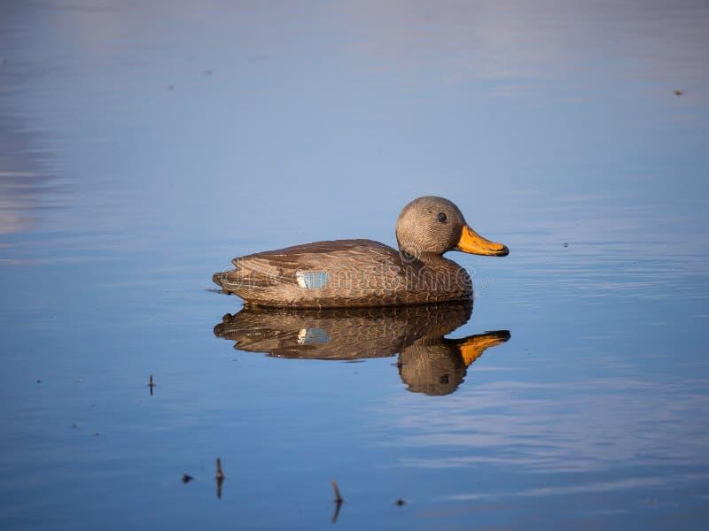 Duck decoy. Decoy of female Mallard duck stock photo
