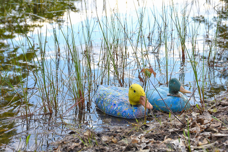 Duck decoys in rural pond. Colorful duck decoys in pond with sky reflection in water royalty free stock images