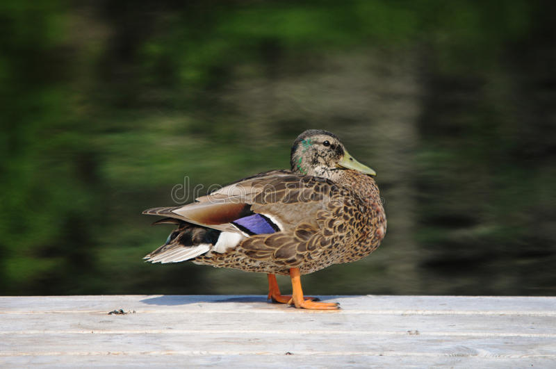 Duck on a dock royalty free stock images