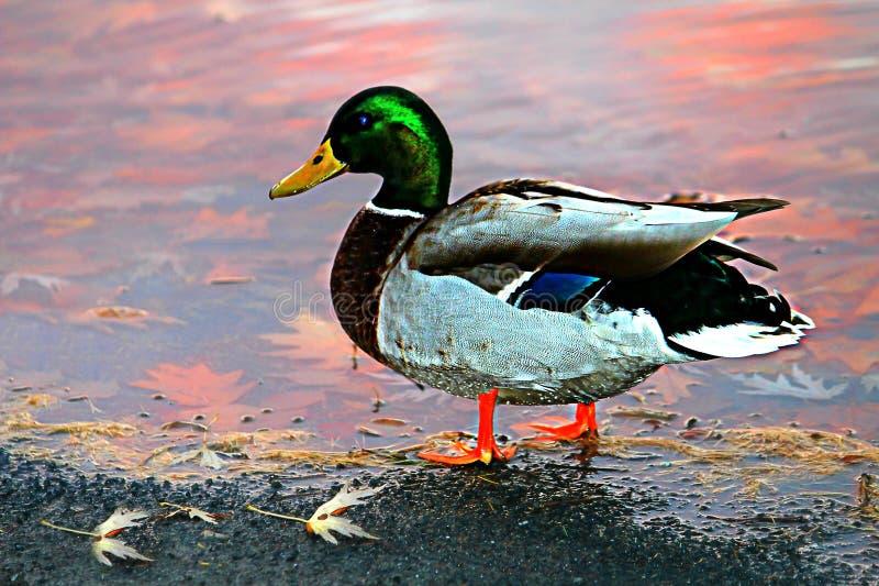 Duck Drake royalty-vrije stock fotografie