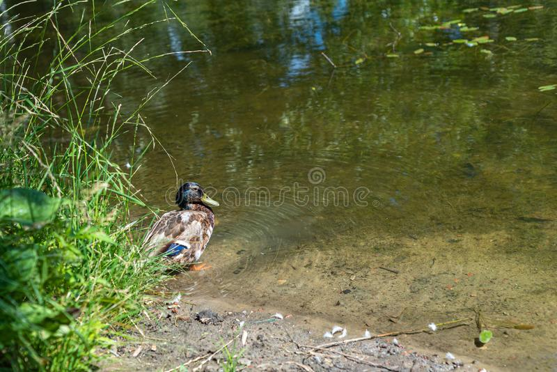 Duck drake swims on the edge of the pond. Selective focus royalty free stock photos