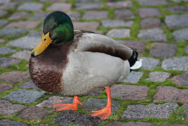 Duck on duck-board stock photos