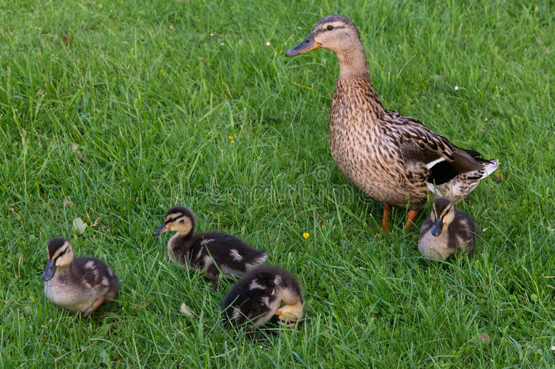 Download Duck and duckling stock photo. Image of color, duckling - 31573252