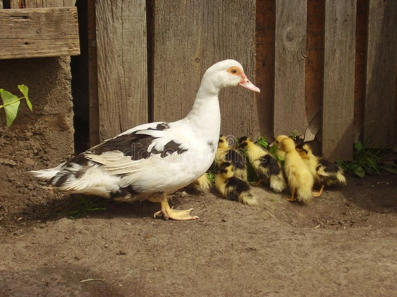 Duck and ducklings. Photo of duck and ducklings royalty free stock photo