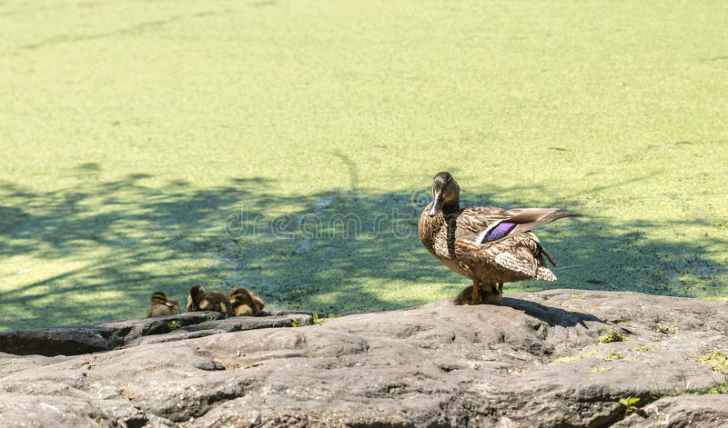 A duck with ducklings in Central Park in NY stock photography