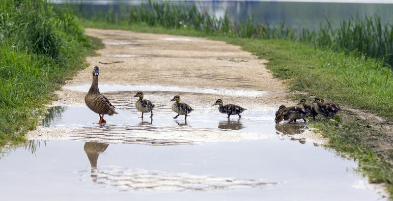 Duck and with ducklings crossing a path stock photos
