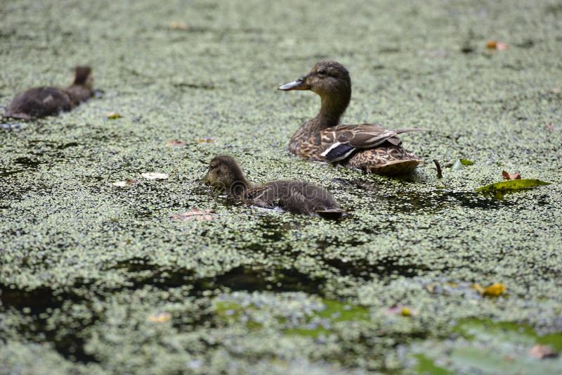 Duck and ducklings. Among duckweed stock images