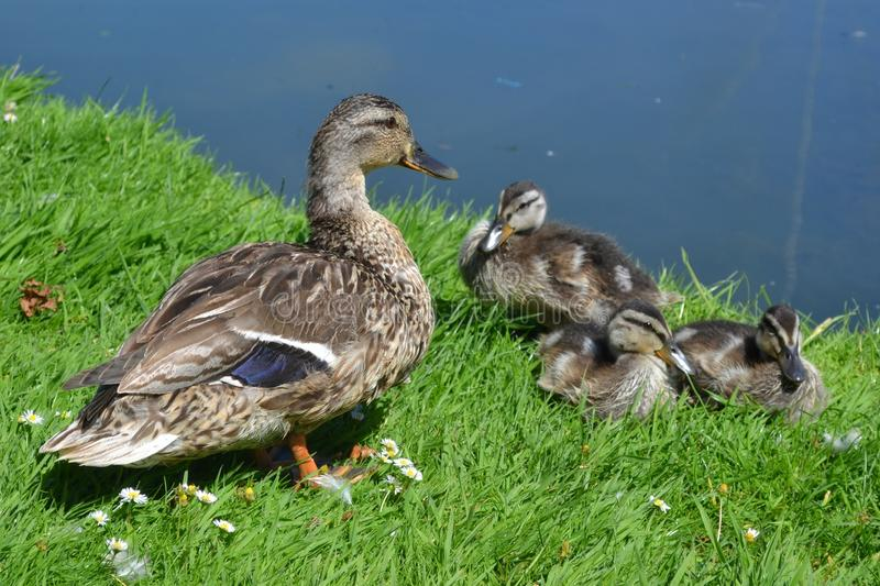 Duck and Ducklings on the Grass. A mother duck and her three ducklings on the grass beside a lake royalty free stock photo
