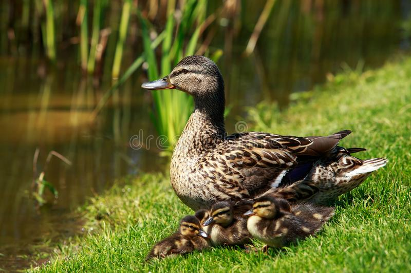 Duck with ducklings. The duck with ducklings on green grass stock image