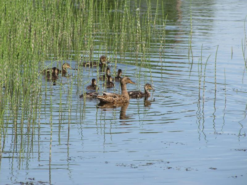 Duck with ducklings. Hiding in the reeds royalty free stock photos
