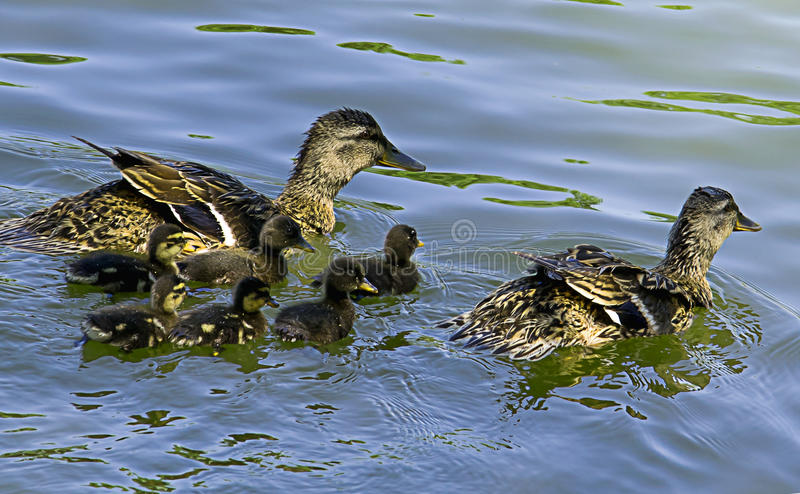 Duck and ducklings. In the lake royalty free stock image