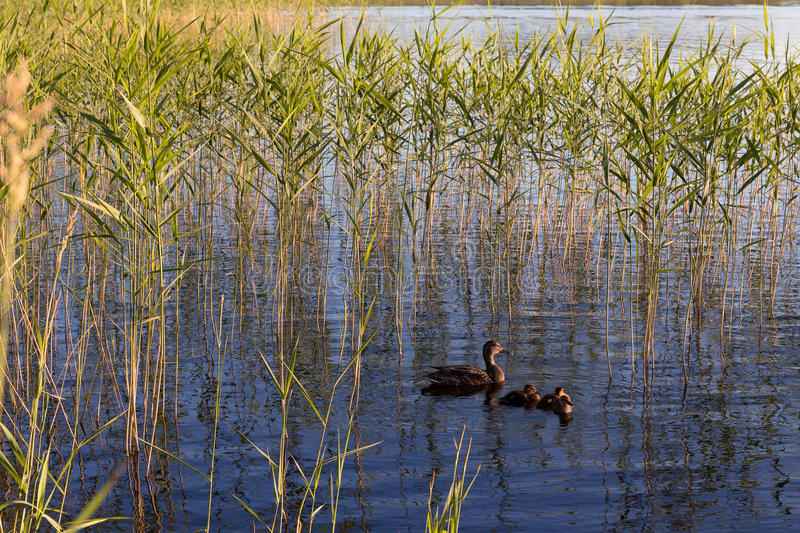 Duck with ducklings. On the lake Angervoinen, not far from the city Kerimaki royalty free stock photography