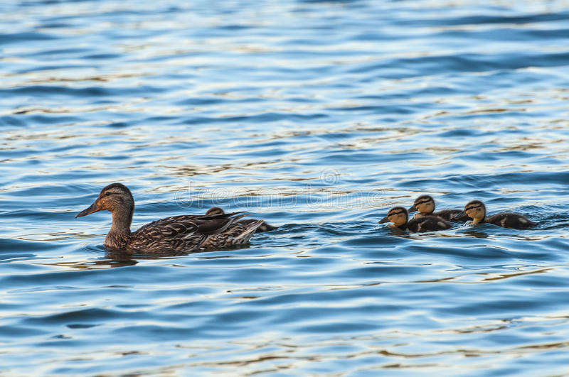 Duck ducklings lake. Duck with small ducklings swimming in the lake on a sunny summer day stock photography