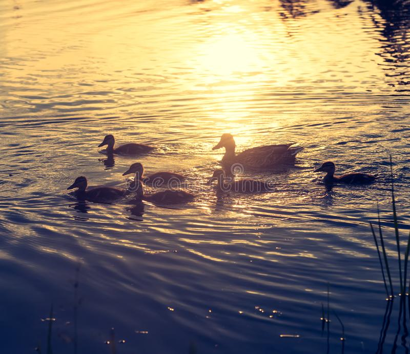 Duck and ducklings at sunset. Duck and ducklings on the lake at sunset stock photos