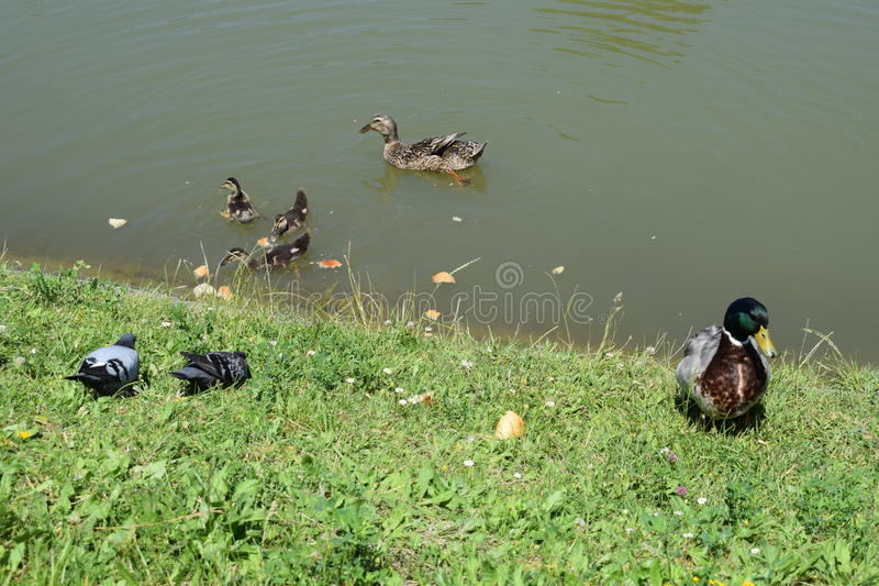 Duck ducklings pigeons - enjoy the outdoors and sunny day. The Big Family of ducks, duck ducklings pigeons - enjoy the outdoors and sunny day royalty free stock photography