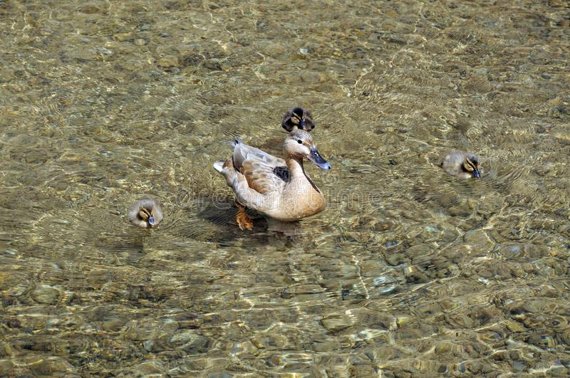 Duck and ducklings. Duck with ducklings on the River Eye, Lower Slaughter, Cotswolds, Gloucestershire, England, UK, Western Europe stock image