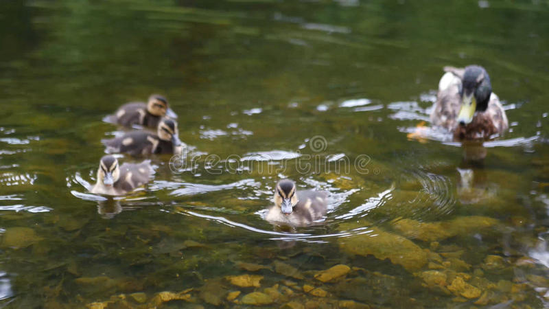 Duck with ducklings swimming on the lake. Full hd royalty free stock images