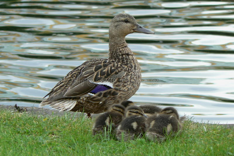 Duck with ducklings. At water stock photo