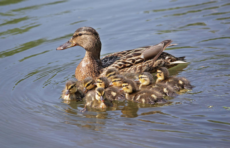 Duck with ducklings in the water. Duck with little ducklings in the water royalty free stock photography