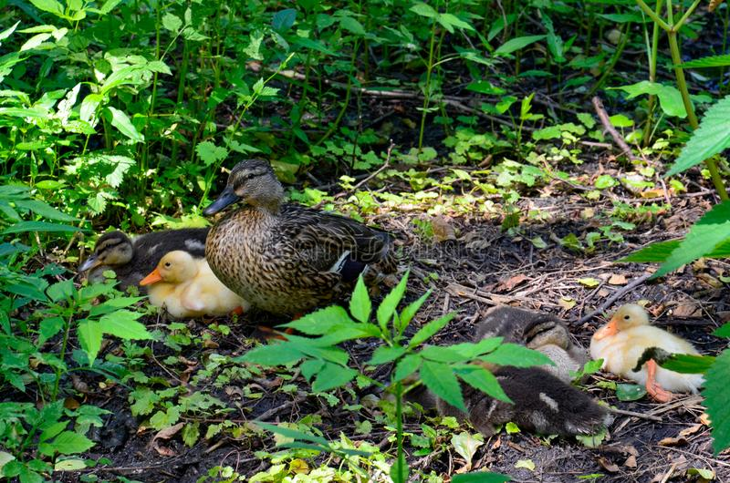 Duck with ducklings in the wild forest stock image