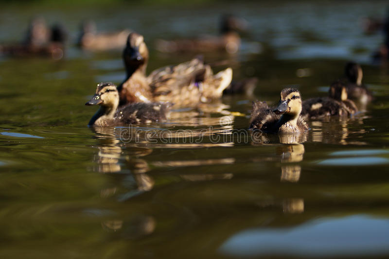 Duck and ducklings!. Wonderful duck with ducklings swims on the water expanse of the lake near the shore in the summer stock photography