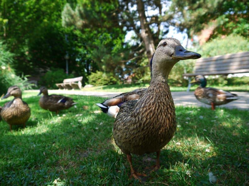 Duck Ducks images stock