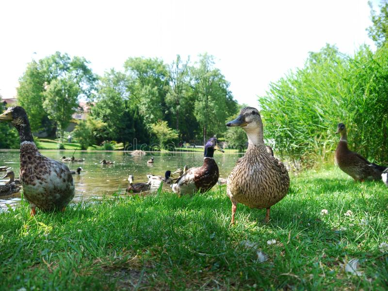 Duck Ducks image libre de droits