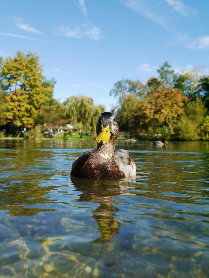 Duck Ducks images libres de droits