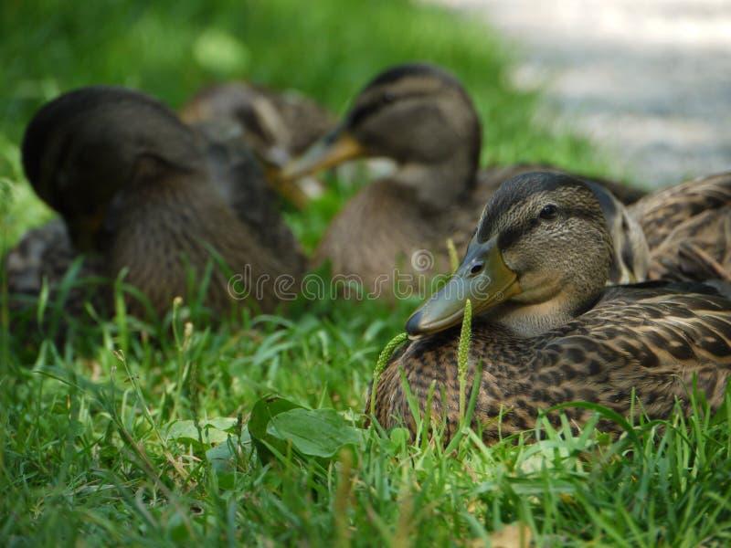 Duck Ducks photos libres de droits
