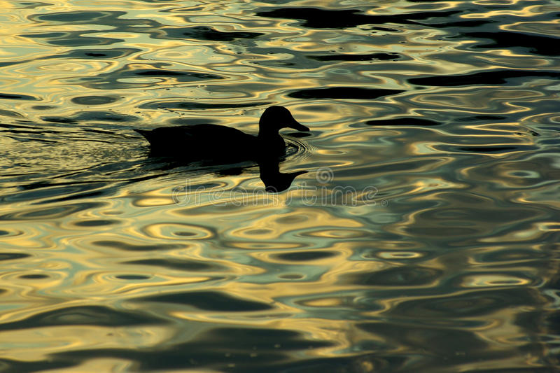 Duck at dusk stock images