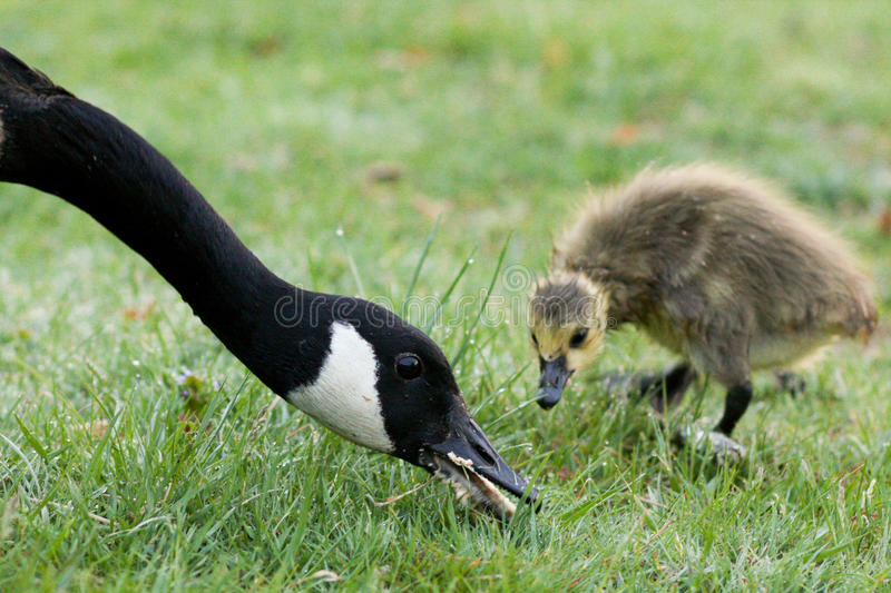 Duck Eating as Duckling Watches