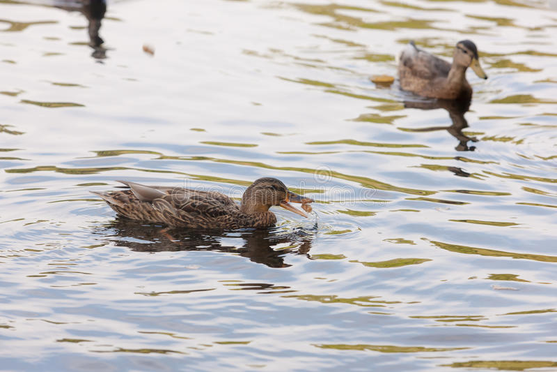 Duck Eating Bread fotografía de archivo