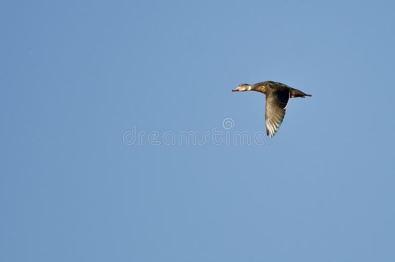 Duck With Eclipse Plumage Flying de madeira masculino em um céu azul fotografia de stock