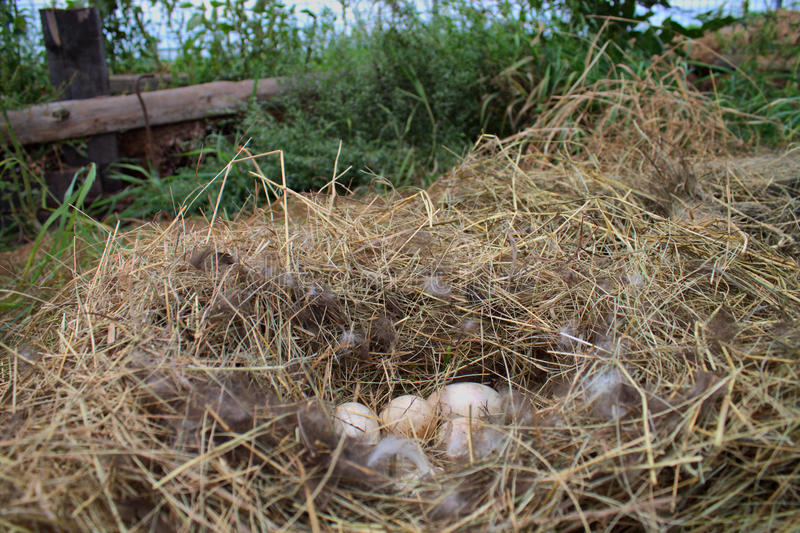 Duck eggs in the nest stock photo