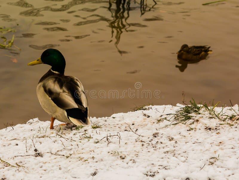 Duck en el primer banco nevado de la charca foto de archivo libre de regalías