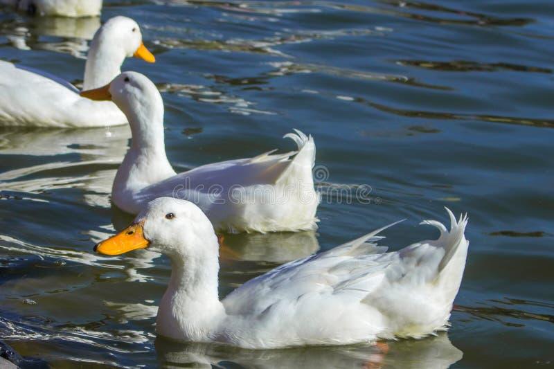 Duck en el tiro del primer, el otro fondo de los patos foto de archivo