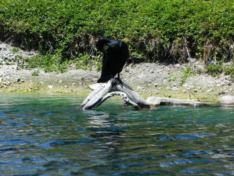 Duck Enjoying Lake nero americano fotografia stock