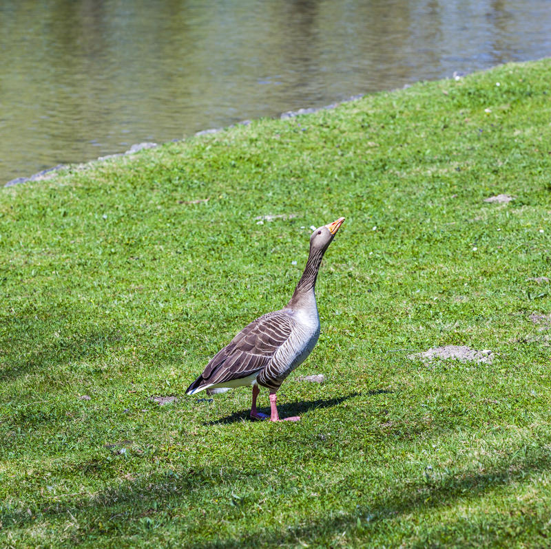 Duck enjoys the green grass royalty free stock photography