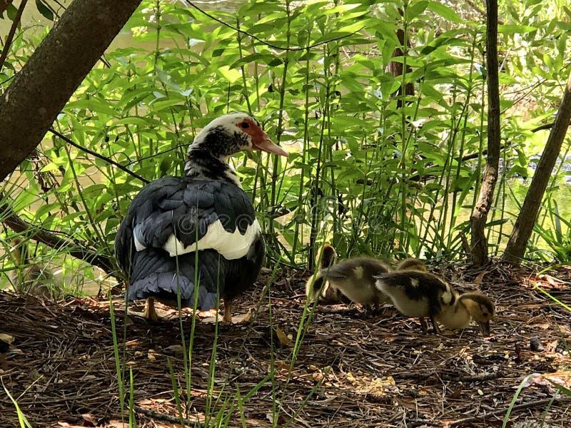 Duck et bébés de maman photographie stock